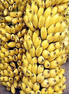 Amazon com: Banana - Trees / Plants, Seeds & Bulbs: Patio, Lawn & Garden