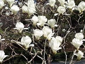 Best magnolia denudata for sale Reviews