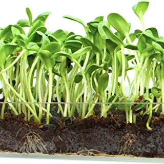 """Microgreen Organic Sunflower 3 Pack Refill KIT – Pre-Measured Soil + Seed, USE with Window Garden Multi-Use 15"""" x 6"""" Planter Tray. (Tray NOT Included). Enough to Sprout 3 Crops of Superfood."""
