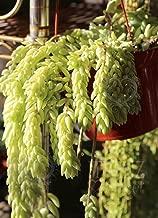 30 Leaves cuttings Sedum morganianum Donkey's Tail Succulent Cactus Rare Burrito