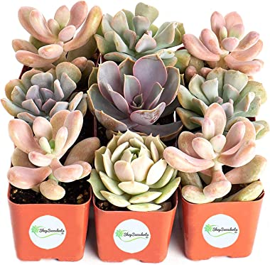 Shop Succulents | Soft Pink Collection | Assortment of Hand Selected, Fully Rooted Live Indoor Succulent Plants, 9-Pack