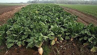 1Lb Sugar Beet Food Plot 10,000 Seeds bulk Excellent Deer Food Plot