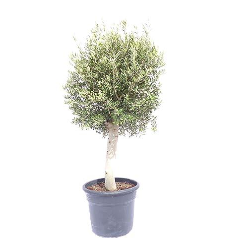 Lieblings Olivenbaum im Topf: Amazon.de #JX_75