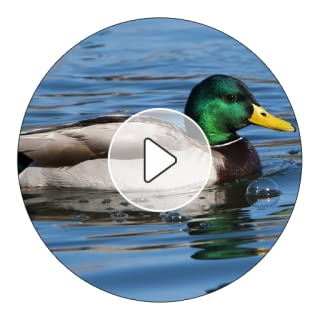 Duck Sounds And Ringtones