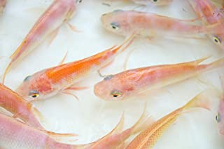Live Aquaponics 25 Red Nile Tilapia Fingerlings, Aquaculture, Aquaponics, Aquarium Fish Tank