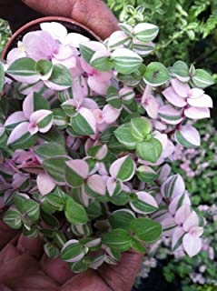 callisia repens variegated