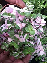 Tri Color Bolivian Jew Or Turtle Vine (Callisia Repens 'Variegated') 2 1/4 Inch VND-005