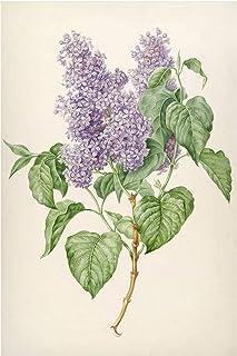 Bilderwelten Pizarra magnética - Maria Geertruyd Barber-Snabilie - Lilac 60x40cm