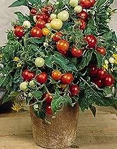 NIKITOVKA Seeds Cherry Tomato Linda, Red (40 Seeds) Non GMO Open Pollinated