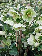 Perennial Farm Marketplace Helleborus x Frostkiss 'Molly's White' (Lenten Rose) Perennial, Size-#1 Container, Cream Flowers