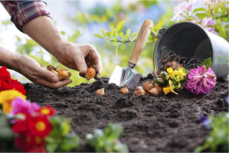 cebollas para maceta y bancal multicolor plurianual 3 cebollas amaryllis rojas cazuelas de diferentes plantas duras invernales para jard/ín y balc/ón Varias cebollas en paquete de regalo