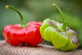 Aji Cachucha Purple Splotched Hot Pepper Premium Seed Packet + More