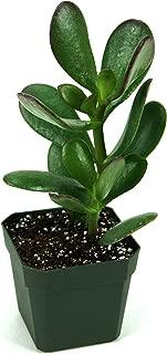 Crassula ovata 'Jade Plant'