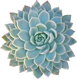 Echeveria Violet Queen Hens and Chicks (4 inch)