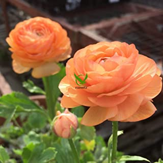 FERNSFLY™ IMP. Ranunculus | Rannculus Excellent Quality Flower Bulbs for Attractive Aromatic Flowers Home Outdoor Gardenin...