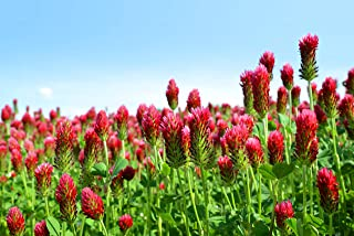 Sweet Yards Seed Co. Crimson Clover Seeds – Extra Large Packet – Over 5,000 Open Pollinated Non-GMO Seeds – Trifolium incarnatum
