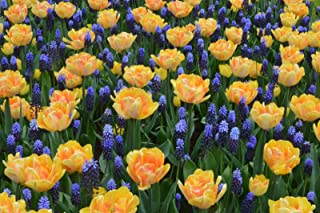 PLAT FIRM SEMILLAS DE GERMINACION: 10 Naranja Azul Tulip Muscari Bulbos Mezcla Jardín de flores de primavera Bombilla perenne resistente
