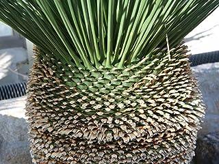 【種子】Dasylirion Longissimumダシリリオン・ロンギッシムム(ロンギッシマム)◎成長が遅くブラックボーイのようなスタイルが魅力の潅木◆5粒