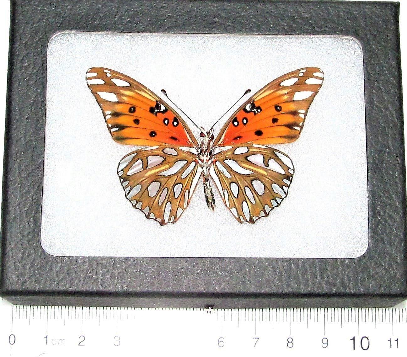 SALENEW very popular BicBugs Agraulis vanillae Verso Fresno Mall Real Framed Orange Butterfly Gul