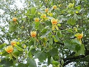 HOT - Tulip Tree - 20 Seeds - Liriodendron tulipifera - Tree - Bonsai