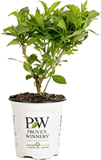 Czechmark Trilogy (Weigela) Live Shrub, White, Pink, and Red Flowers, 4.5 in. Quart