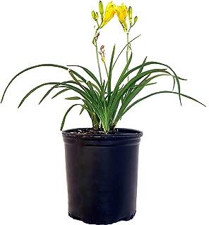 Hemerocallis 'Stella D'Oro' (Daylily) Perennial, yellow flowers, 1 - Size Container