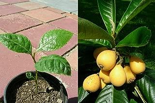 Japanese Plum Plant Loquat Fruit Live Tree Starter Seedling 4