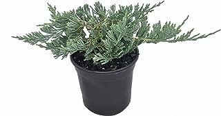 Blue Rug Juniper - 30 Live Plants - 4