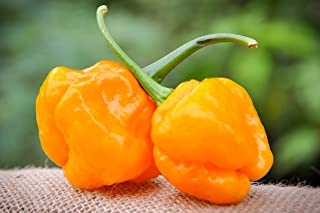 moa scotch bonnet
