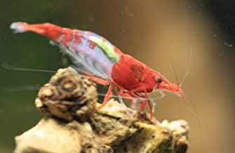 5+1 Live Homebred Small Red Rili Shrimp Neocaridina