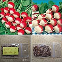 Radish ''Sparkler 3'' ~150 Top Quality Seeds - Two Colored - Extra Early Variety