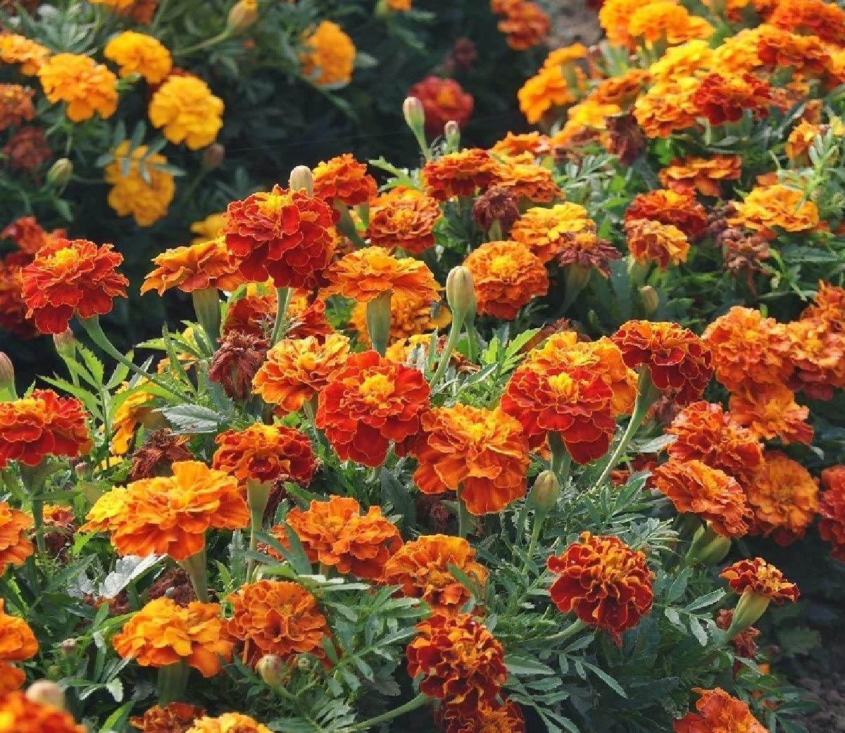 Marigold Seeds - French Sparky Prot Mix Flower Heirloom Garden online shopping Fees free!!