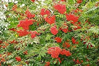 rowan tree seeds