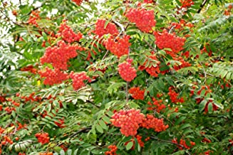 Tree Seeds - 50 Seeds of Rowan, (European Mountain Ash), Sorbus aucuparia (Fast, Fall Color)