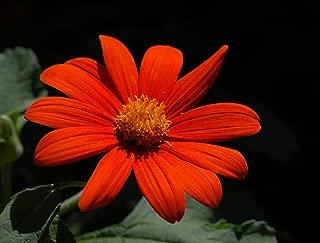 HOT - Sunflower, Mexican Sunflower 'Torch', 150 Seeds! GroCo