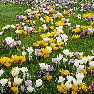 Best autumn flowering crocus bulbs Reviews