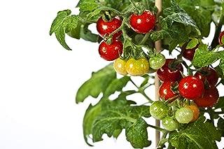 sunchocola tomato seeds