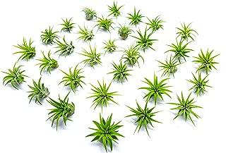 Miniature Fairy Garden Plants - Live Tillandsia Air Plants for Enchanted Gardens - Terrarium House Plant Accessories and Gardening Starter Kit Supplies