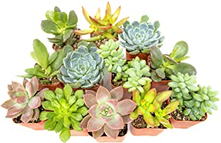 Succulent Plants (12 Pack) Fully Rooted in Planter Pots with Soil | Real Live Potted Succulents / Unique Indoor Cactus Dec...