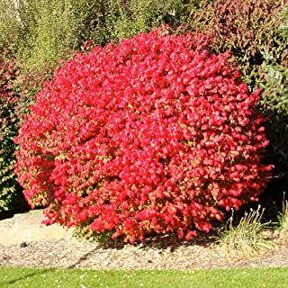 Pixies Gardens Burning Bush Shrub Blue-Green Colored Leaves in Summer Turns Into Fiery Red Autumn Foliage Making It an Exc...