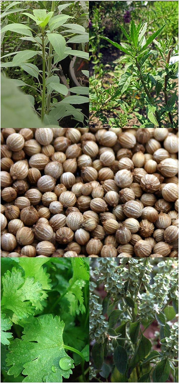 burritos Hierbas Mexicanas Set de semillas con 4 hierbas culinarias tradicionales para tacos tortillas /& salsas