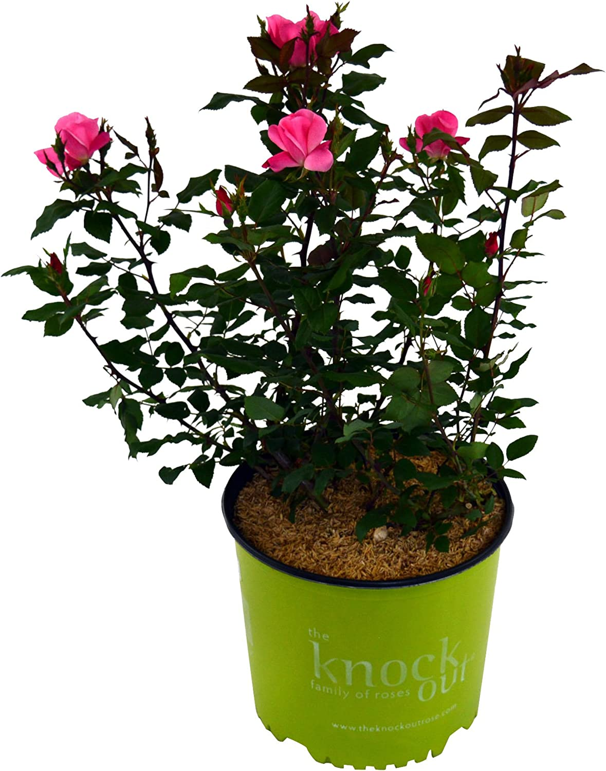 Pink Knockout Rose Rosa Finally resale start 'Pink Knock i live Out' Ranking TOP17 potted plant -