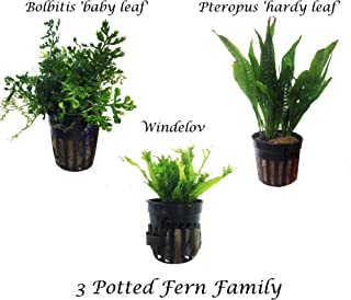 Greenpro 3 Water Fern Package Bolbitis | Windelov | Pteropus Hardy Leaf Live Potted Aquarium Plants for Freshwater Fish Tank