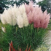 Asklepios-seeds Ipom/ée 250 graines de Ipomoea tricolor