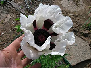 25 Oriental Poppy Flower Seeds. Royal Wedding. Papaver Orientale Seed. #60