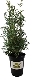 New Life Nursery & Garden / - Carolina Sapphire Blue Arizona Cypress Quart Pot Quart Pot