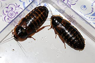 male female dubia roaches
