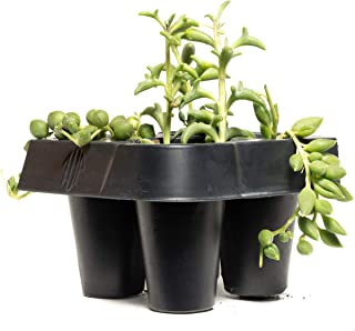 "Green Succulent Mix Pack (4 Count) 1.5"" inch Pack - Decorate Your Home/Garden with a Variety of Healthy Live Round Pearls, Pointed Pearls, String Bananas, and Dolphin Succulent Plants by Jiimz"