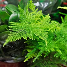 Asparagus Fern Seeds - A. plumosa nanus - Approx 100 Seeds - Mountain Valley Seed Company