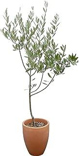 観葉植物 オリーブの木 素焼 鉢植え 7号 インテリア グリーン
